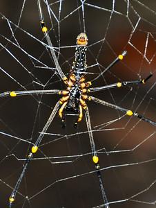 Sinharaja - Lady Spider