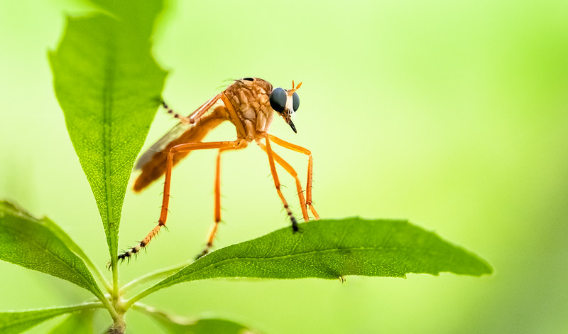 Robber Fly (Diogmites)