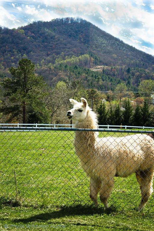 Llama's Mountain Home