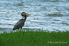 A little warning: the quality of this one is a bit dodgy for print, but it was a moment I had to share. Exposure was off on the shot and the heron went off to have breakfast alone shortly thereafter.