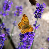 Queen of Spain Fritillary, Male, on Lavender