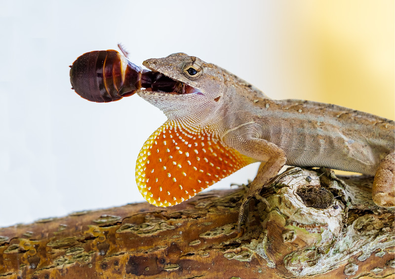 Anole with wood roach