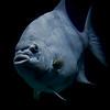Silver fish in the Baltimore Aquarium