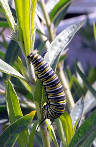 From Cindy's garden in January.  Monarch caterpillar on family jewels.