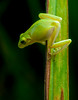 Young Tree Frog
