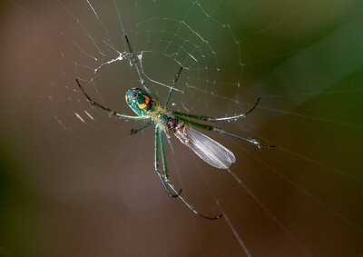 Orchard Orbweaver Spider with Prey