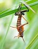 Lubber Grasshopper Molting