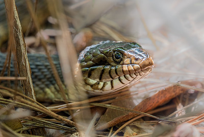 Florida Banded Water Snake (Nerodia fasciata pictiventris)