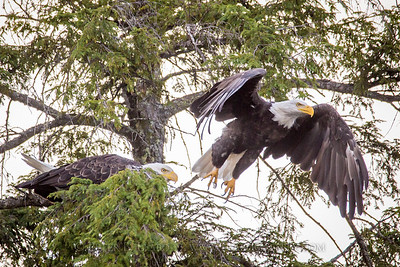 Eagles Take Flight