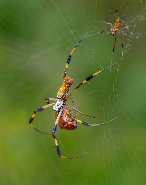 A female golden silk orbweaver spider (Nephila clavipes) devours a June bug beetle (Diplotaxis truncatula) while the relatively tiny male watches anxiously from a safe distance