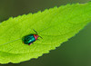 Shiny Flea Beetle