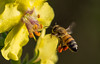 A honey bee approaches a mullein flower.