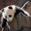 "Xiao Liwu - ""Little Gift""<br /> Born July 29, 2012<br /> San Diego Zoo"