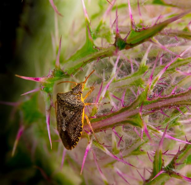Brown Marmorated Stink Bug on Cirsium Horridulum (Thistle)