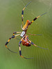 Golden Silk Orbweaver Spider with Diplotaxis truncatula