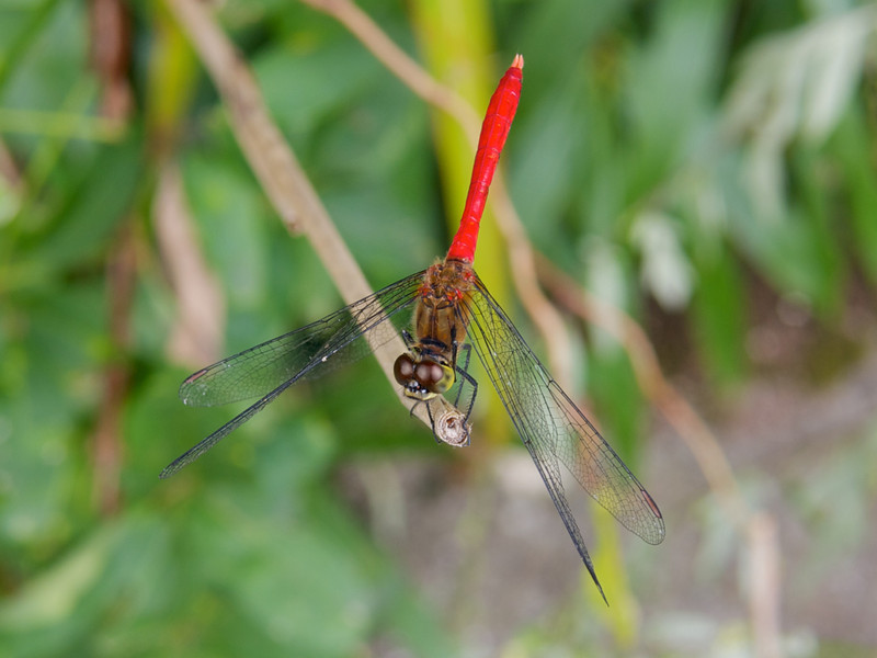 This is a small dragonfly