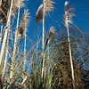 Pampas Grass on a winters morning
