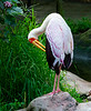 Yellow-billed Stork in Breeding Colors (captive, Jacksonville Zoo)