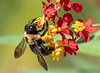 Carpenter Bee on Tropical Milkweed