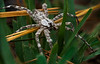 White Banded Fishing Spider (Dolomedes albineus)
