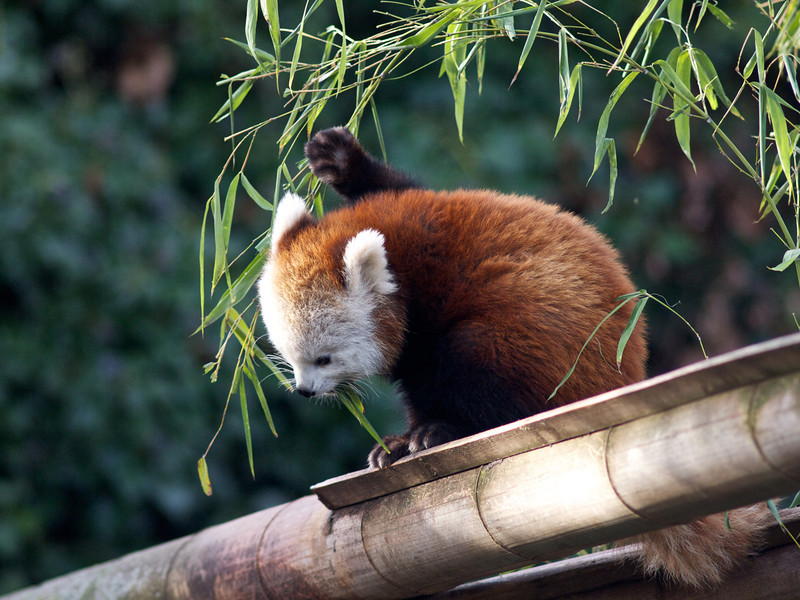 Red panda / Panda roux