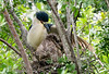 Black-crowned Night Heron with Chicks