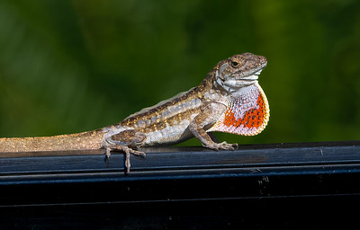 Molting Brown Anole Displaying Dewlap