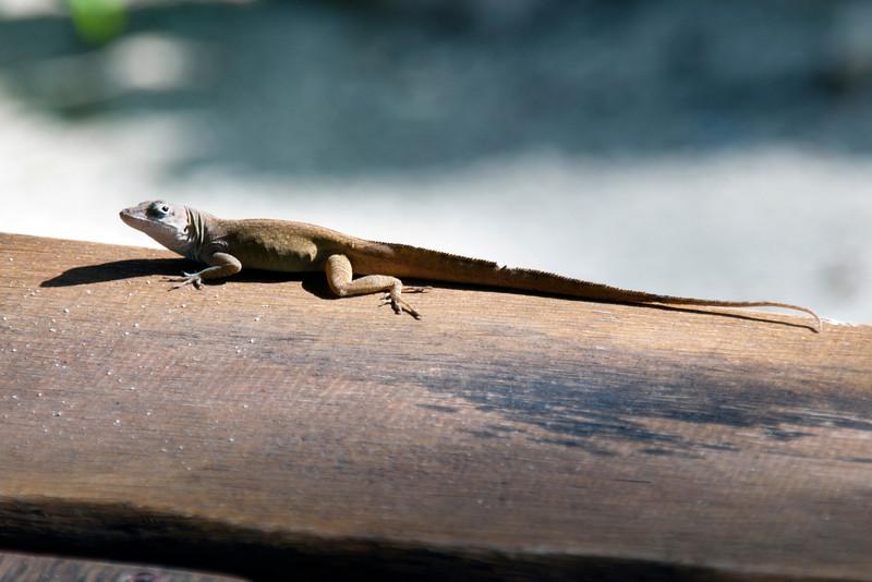 Lizardly Caution<br /> <br /> December 31, 2010<br /> <br /> Nassau, Bahamas