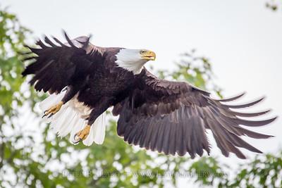 Eagle Takes Flight
