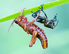 Freshly Molted Immature Lubber Grasshopper