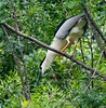 Nesting Black-crowned Night Herons