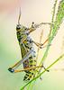 Lubber Grasshopper Eating a Grass Flower