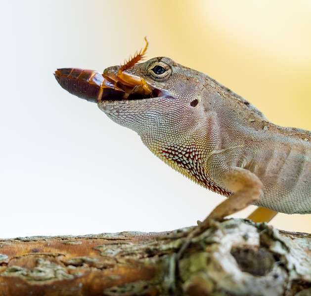 Anole with a Big Snack