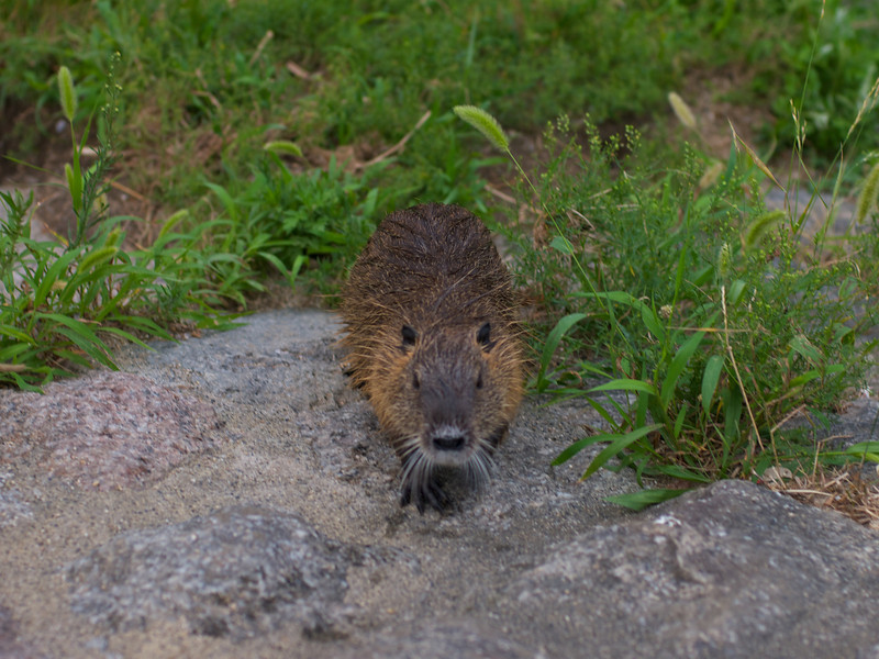 Along the Kamo river, north of Demachiyanagi... Looking for food, it only found a camera!