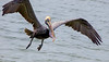 American Brown Pelicans
