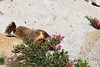 Marmot stops to smell the flowers (well, actually he was checking out his lunch) in Yosemite Park