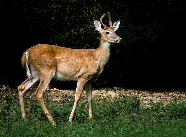 White Tailed Deer (young buck)