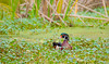 Wood Duck in Pennywort