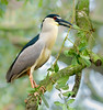 Black-crowned night heron collecting nest material