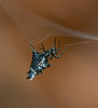 A spiny orb weaver weaving its orb