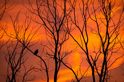 Red Tail Hawk in a Red Dawn
