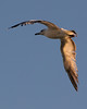 Bird in Flight<br /> <br /> May 2, 2012<br /> <br /> St. Simons Island, GA
