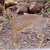 Dik-dik, smallest of them all!<br /> Photo by Jacky Mathieu