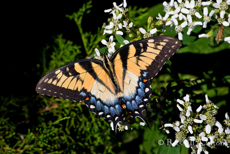 Two Tailed Swallowtail butterfly resting on flowers. Scientific name Papilio Multicaudata