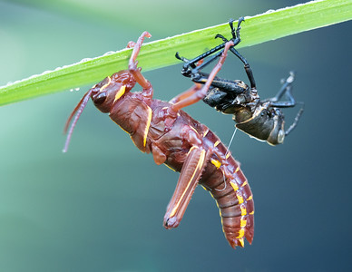 A molting lubber grasshopper nymph clings to its vacated skin while the new one hardens.
