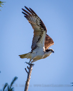 Osprey Takes Flight