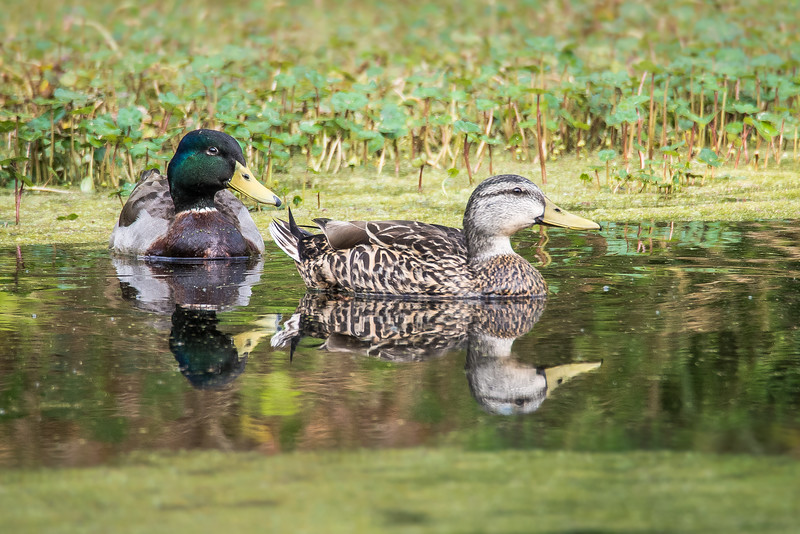 Nestig Pair of Mallards