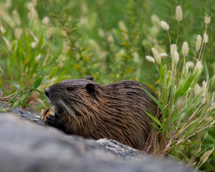 Myocastor coypus, alias Coypu or Nutria or Ragondin or Castor des marais or River rat...
