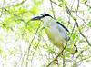 Black-crowned Night Heron Harvesting Nest Building Material