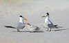Royal Tern Pair with Chick